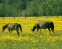 (horses grazing on acreage)